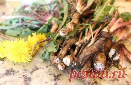 Корень одуванчика: полезные свойства, рецепты и противопоказания   В середине весны и до начала лета многие замечают такие красивые и ярко желтые цветы, как одуванчики. Поначалу они нас радуют своей яркой желтизной, а затем воздушным пухом. А ведь помимо своей крас…