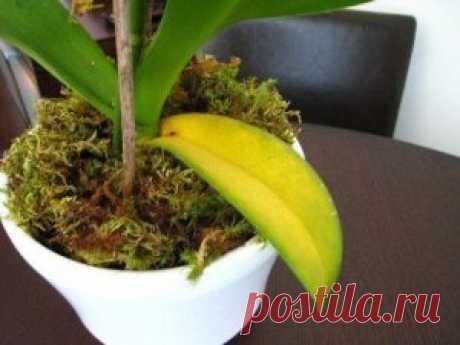 Почему желтеют листья у орхидеи, и что с этим делать