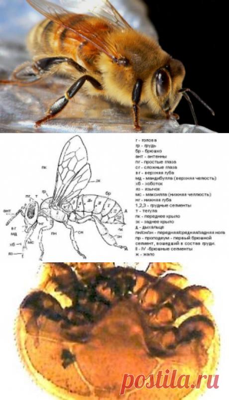 Анатомия и физиология пчел - как устроен организм пчелы