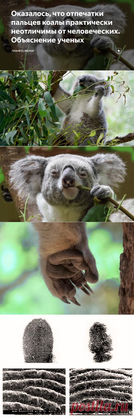 Оказалось, что отпечатки пальцев коалы практически неотличимы от человеческих. Объяснение ученых | Планета зверей | Яндекс Дзен
