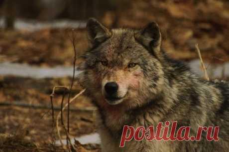 Можно ли приручить волка? | Наука и технологии