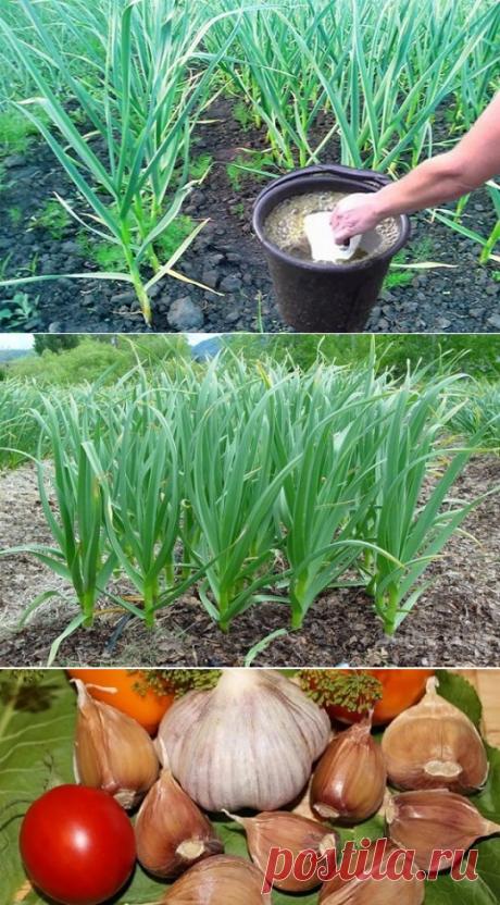 Чем подкормить чеснок в июле: как удобрять, чтобы вырос крупным?