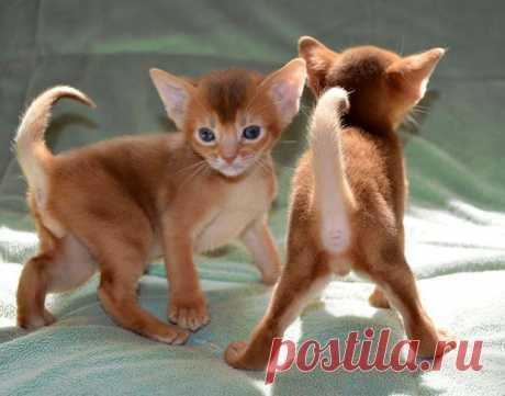 Абиссинские котята Red окраса , питомник абиссинских кошек Super-Aby