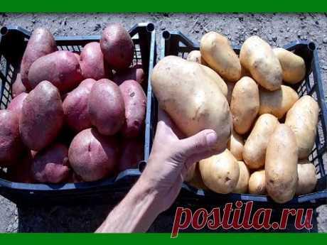 Секреты выращивания крупного картофеля от высадки до сбора урожая Ведро картофеля с куста - YouTube