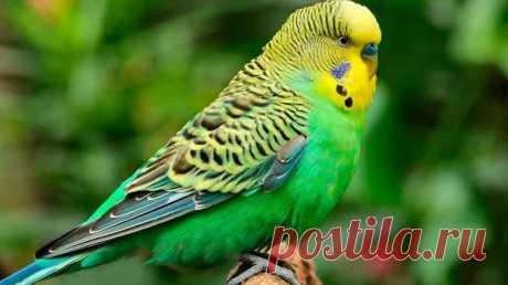 Почему попугай чешется и выщипывает перья - как лечить в домашних условиях