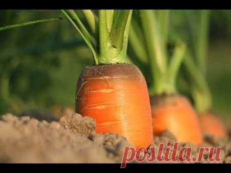 КАК ПОСАДИТЬ МОРКОВЬ чтобы НЕ ПРОРЕЖИВАТЬ. КАК ПОСАДИТЬ МОРКОВЬ ЧТОБЫ НЕ ПРОРЕЖИВАТЬ. Морковь, посадка моркови, а точнее посев моркови - тема данного видео. Как сажать морковь, а именно, как правильно...
