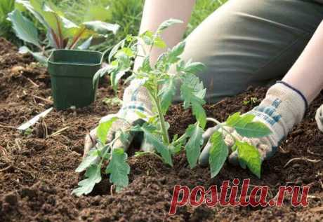"""Что положить в лунки при высадке рассады томатов в грядки Томаты принадлежат к тем овощным культурам, которым нужно в достатке минеральное питание, а вот лишняя органика в грядке может сослужить плохую службу. Рассада начнет """"жировать"""" и богатого урожая не б…"""
