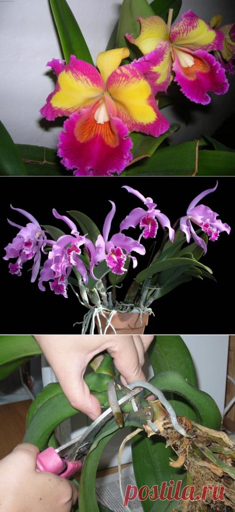 Орхидея Каттлея: уход в домашних условиях, реанимация растения без корней, болезни, выращивание