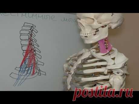 Причина онемения рук, укорочение лестничных мышц, упражнения на растяжение, Scalene Muscle Stretch - YouTube