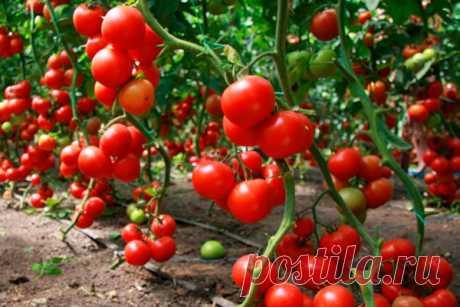 Как избежать белого каркаса в томатах - медиаплатформа МирТесен