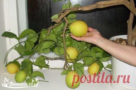 Выращивание лимона в домашних условиях - правила и секреты посадки