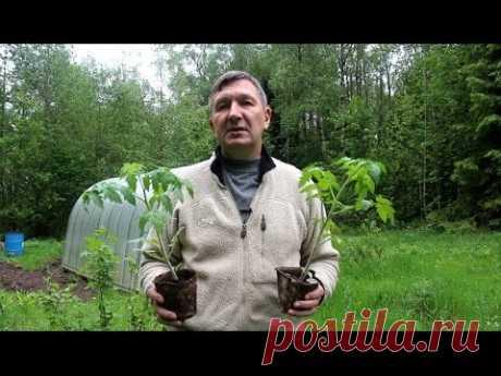 Посадка рассады томатов в теплицу