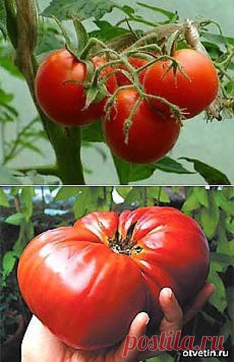 Тайны выращивания помидор