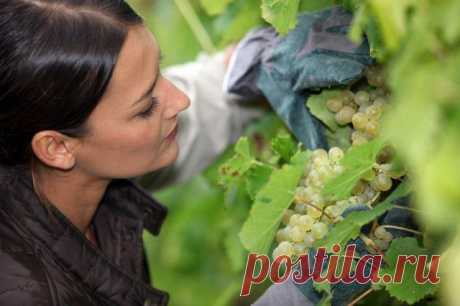 Почему ягоды на винограде сохнут, а не спеют – три основные причины Усыхание ягод – одна из проблем, с которой сталкиваются виноградари в процессе выращивания этой плодовой культуры. Причем, оно происходит на всех этапах созревания. Кроме грибковых инфекций, у усыхани...