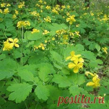 Чистотел: лечебные свойства сорной травы - МирТесен
