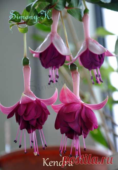 Kendra Полуампель. Цветы крупные, махровые. Не капризен. Обильное цветение.