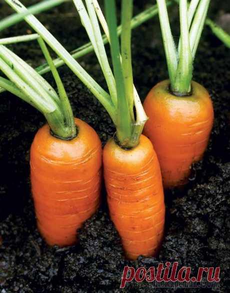 Морковь, посадка и уход в открытом грунте Морковь – это овощ, популярный в кулинарии. Он придает блюду сладость.Хорошо сочетается с другими овощами, мясом, рыбой или фруктами.Этот корнеплод – не капризное растение, но ошибки в уходе за ним ...