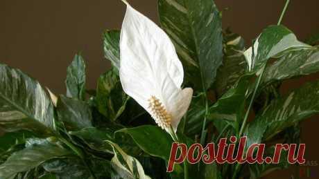 Как пересадить спатифиллум в домашних условиях