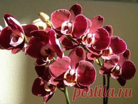 Что из себя представляет комнатная орхидея и как за ней правильно ухаживать?