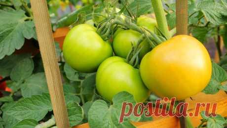 Как сделать, чтобы томаты дозрели на кусте? | Виталий Декабрев | Яндекс Дзен