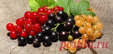 5 ошибок при выращивании смородины, которые лишают вас урожая.