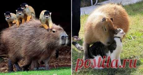 Видео: кинкажу и капибара — самые милые экзотические животные, которых можно держать дома