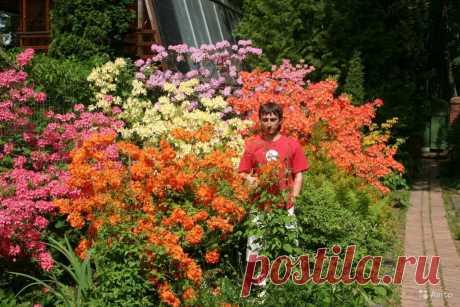 рододендрон листопадный форум: 6 тыс изображений найдено в Яндекс.Картинках