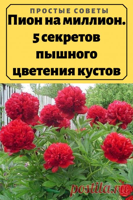 Пион на миллион. 5 секретов пышного цветения кустов – Простые советы