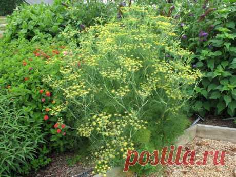 La cultivación del hinojo en las condiciones de casa y en el jardín