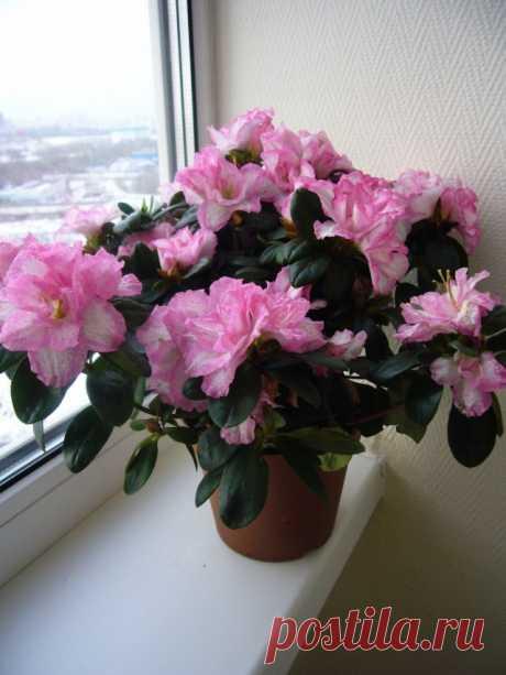 Рододендрон – Азалия (Rhododendron)