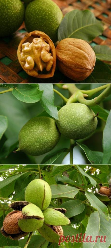 Как вырастить грецкий орех на даче? | 6 соток