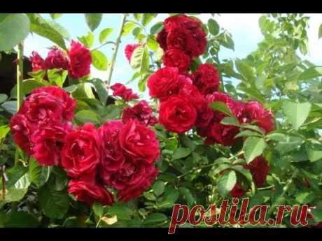 Как размножить вьющуюся плетистую розу черенками