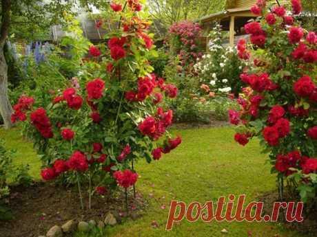 6 ОШИБОК В ВЫРАЩИВАНИИ РОЗ НА ДАЧЕ:  1. Сажая розу в грунт, не следует оставлять прививку на поверхности почвы. Лучше углубить корневую шейку растения на 2-3 сантиметра в грунт.  2. Нельзя обрезать садовые розы на зиму. Так, растение теряет жизненные силы и уходит на зимовку ослабевшим. Обрезать розу лучше весной, удаляя подмерзшие и погибшие побеги до места первой почки на цветке. Показать полностью…