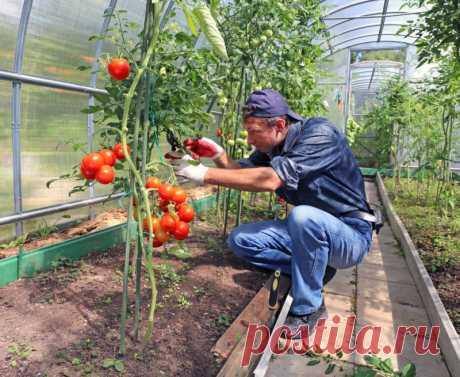 Правильно обрезаем листья помидоров
