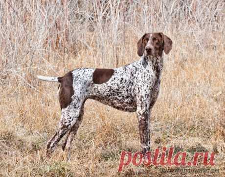 Курцхаар.  Эта собака, название породы которой переводится с немецкого как «короткошерстный», может по праву гордиться знаменитыми предками – настоящими корифеями от охоты, среди которых старинные испанские, итальянские и немецкие легавые, французская собака Святого Губерта и английский пойнтер. Такой «коктейль» принес потрясающий результат в виде курцхаара – собаки, наделенной уникальным набором охотничьих качеств. И не только охотничьих. Кажется, что курцхаару по силам а...