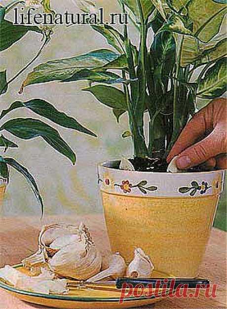 Натуральная защита и питание комнатных растений.