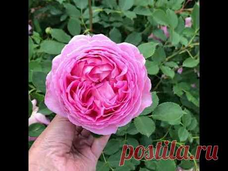 Обзор сада из английских, французских, немецких роз с названиями сортов. Цветение июнь 2020
