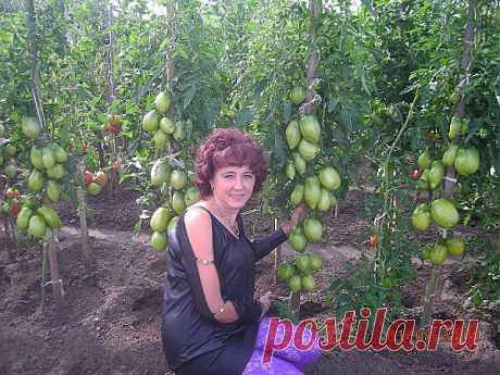 Cultivamos las plantas por el método de Natalia Scherbininoy de Minusinska. (La parte 2).