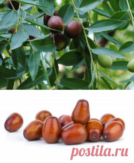Переработка плодовой и листовой массы унаби - БиоКорова