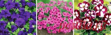 Лучшие сорта петунии для вашего цветника - Садоводам и огородникам