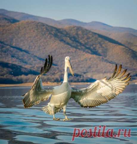 «Вот такую рыбу вчера поймал». Кудрявый пеликан на озере Керкини, Греция. Автор фото – Evgeni Fabisuk: nat-geo.ru/photo/user/303171/