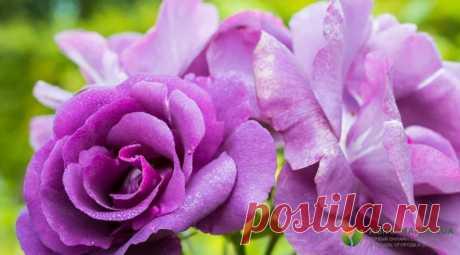 Весенняя подкормка роз - как, когда и чем подкармливать розы весной
