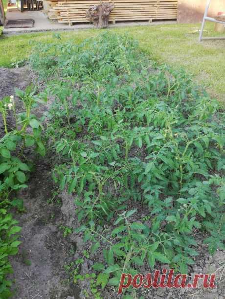Кормящие листья томатов. Если ошибиться и их удалить, потеряем урожай | Собираем урожай | Яндекс Дзен