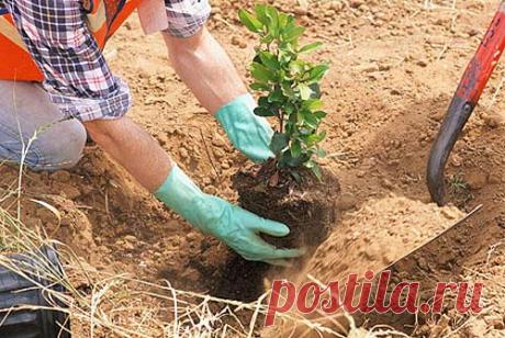 Какие деревья посадить около ямы, чтобы забыть о постоянной откачке? (Проверено - работает)   Строю для себя   Яндекс Дзен