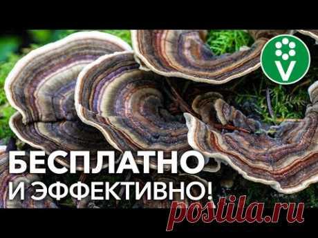 Мы покупаем ЭТО дорогое средство для защиты растений, а его можно найти в любом лесу - YouTube