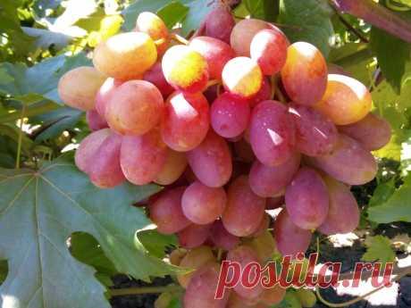 виноград преображение урожай 2015 - YouTube