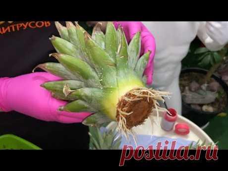 Укореняю коронку от покупного ананаса, размножение ананасов.Укоренение магазинного ананаса. Укореняю коронку от покупного ананаса, размножение ананасов.
