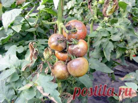 Как правильно ухаживать за томатами в теплице | 6 соток
