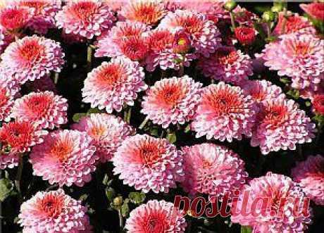 Как вырастить хризантемы дома | Сайт полезных советов
