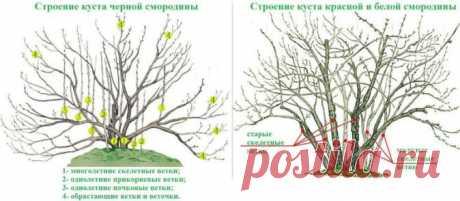 Обрезка смородины весной, в том числе для начинающих, а также основные правила проведения